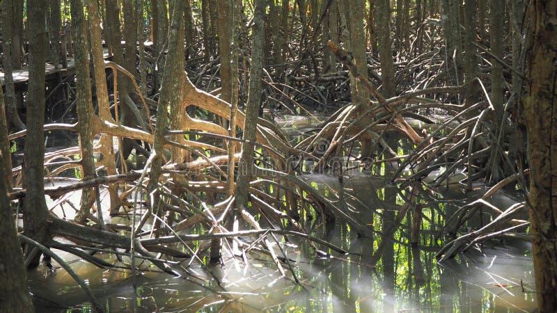 Albero della mangrovia Mangrovia nella palude fotografia stock libera da diritti