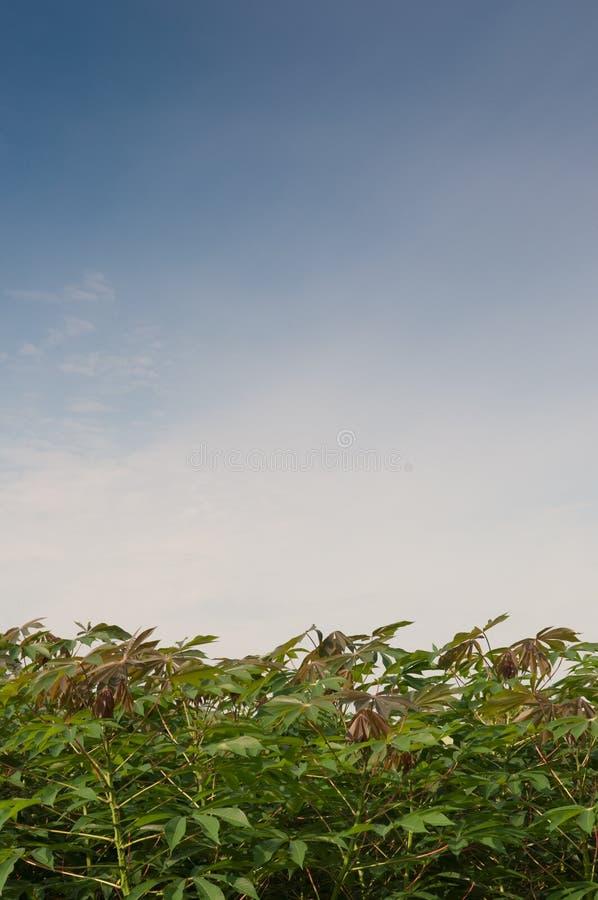 Albero della manioca immagini stock libere da diritti