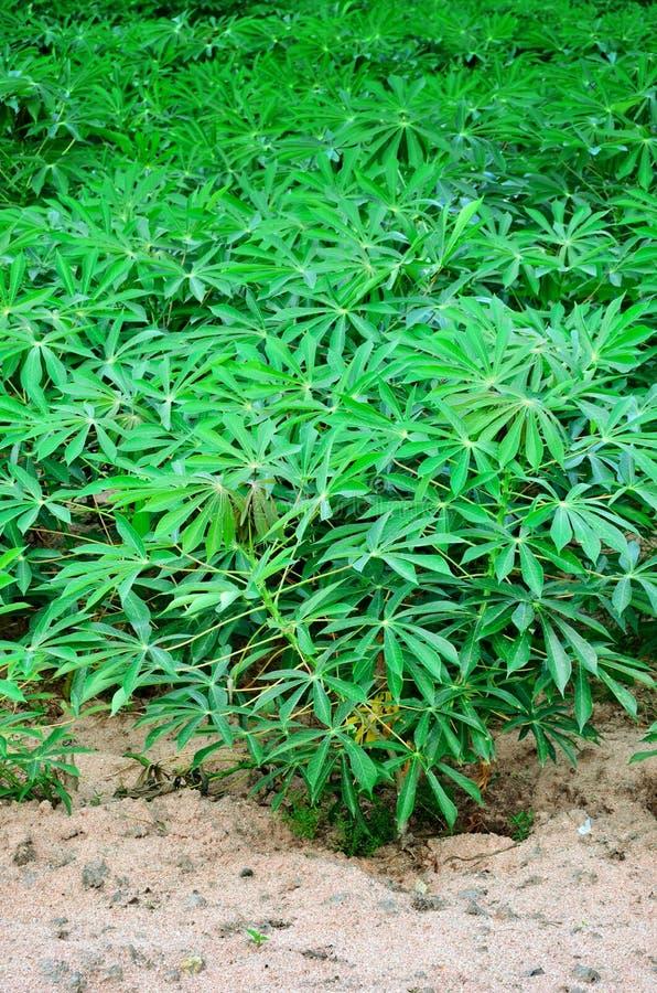 Albero della manioca fotografia stock libera da diritti