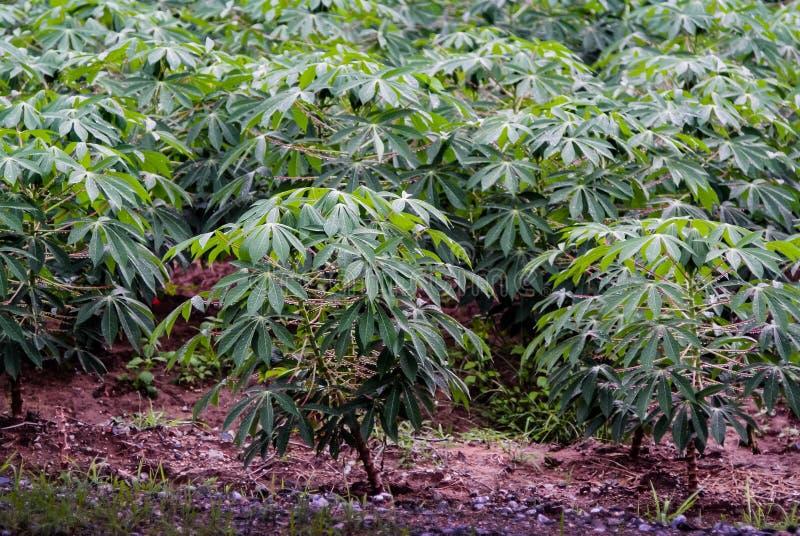 Albero della manioca con goccia di pioggia immagini stock libere da diritti