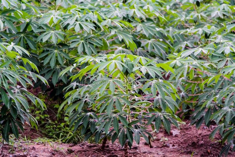 Albero della manioca con goccia di pioggia fotografia stock