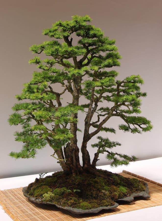 Albero della miniatura di Larix decidua del larice dei bonsai fotografia stock