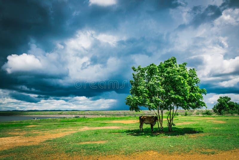albero della mucca sotto fotografia stock