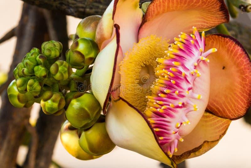Albero della palla di cannone in fioritura fotografie stock