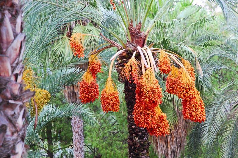 Albero della palma da datteri con i frutti fotografie stock libere da diritti