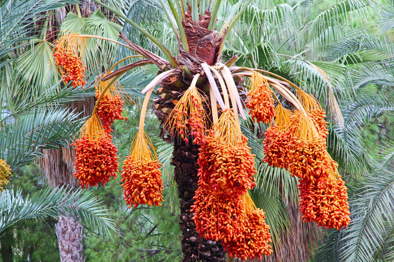 Albero della palma da datteri con i frutti maturi fotografia stock libera da diritti