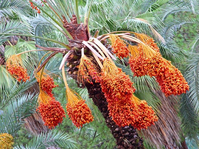 Albero della palma da datteri con i frutti maturi appetitosi immagine stock