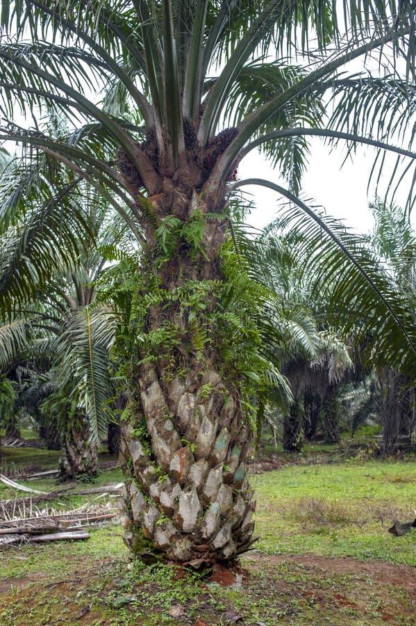 Albero della palma da olio immagini stock libere da diritti