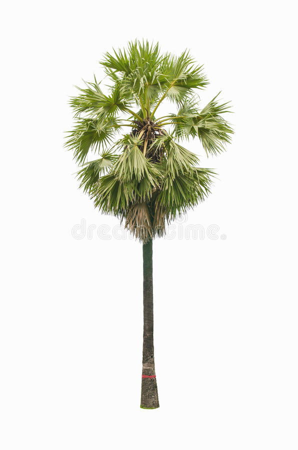 Albero della palma da zucchero fotografie stock