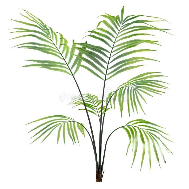 Albero della pianta della palma isolato royalty illustrazione gratis
