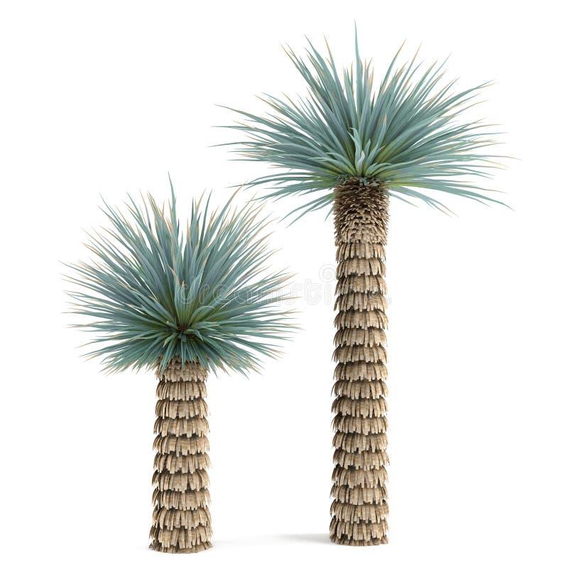 Albero della pianta della palma isolato yucca elat for Pianta palma