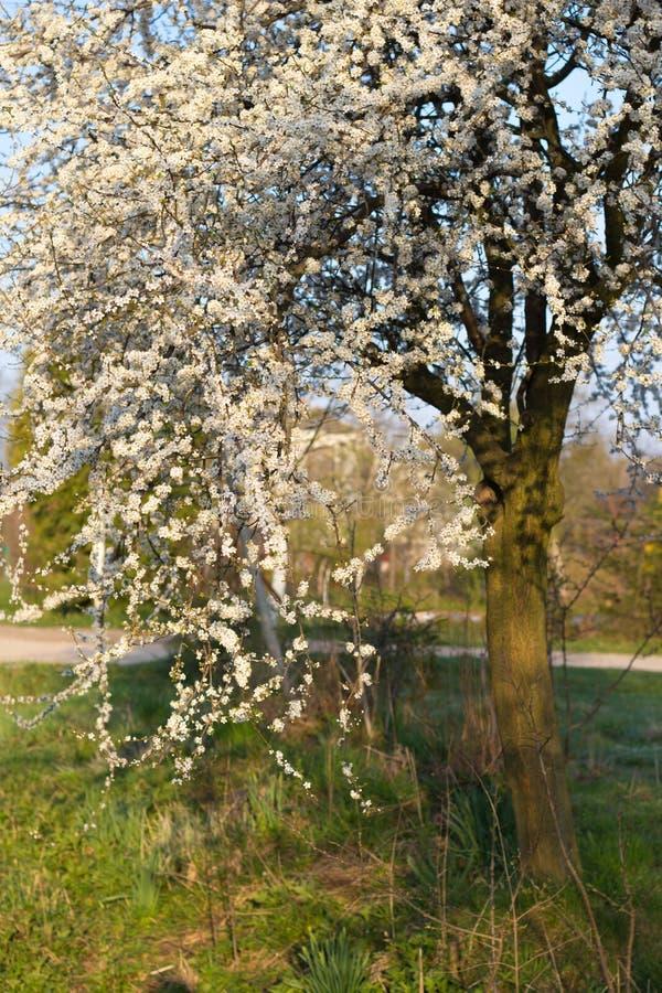 Albero della primavera con i fiori bianchi e la foglia for Albero con fiori blu
