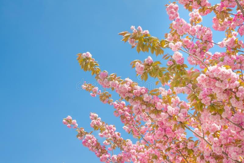 Albero della primavera con i fiori rosa fotografia stock for Albero con fiori blu