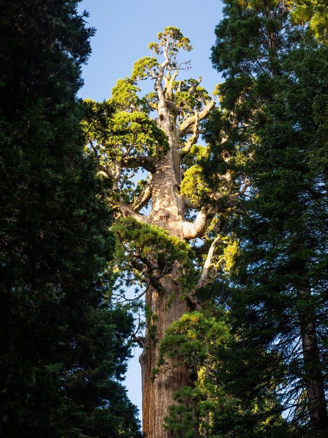Albero della sequoia fotografia stock