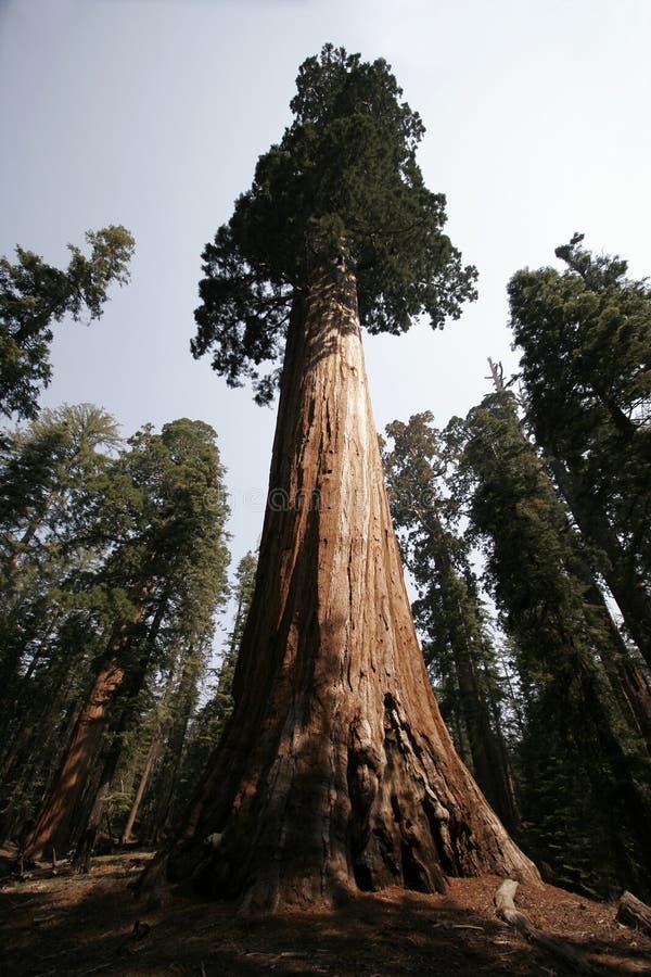 Albero della sequoia immagini stock