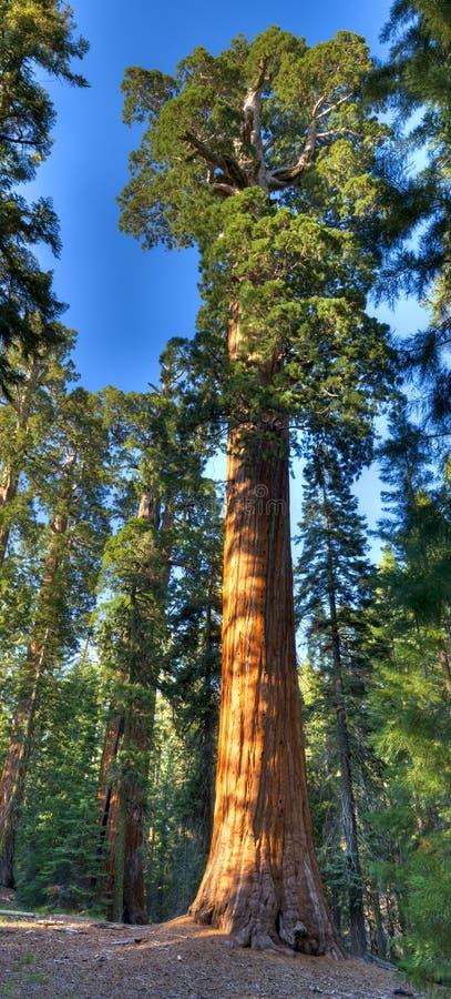 Albero della sequoia fotografie stock libere da diritti