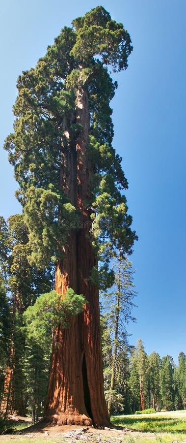 Albero della sequoia fotografia stock libera da diritti