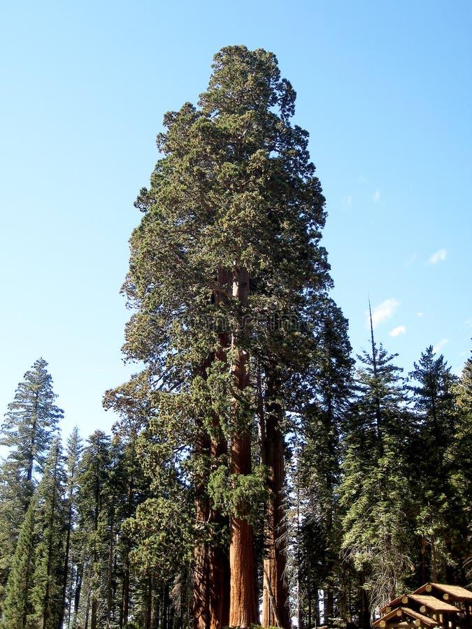 Albero della sequoia gigante della sentinella (California, U.S.A.) fotografie stock libere da diritti