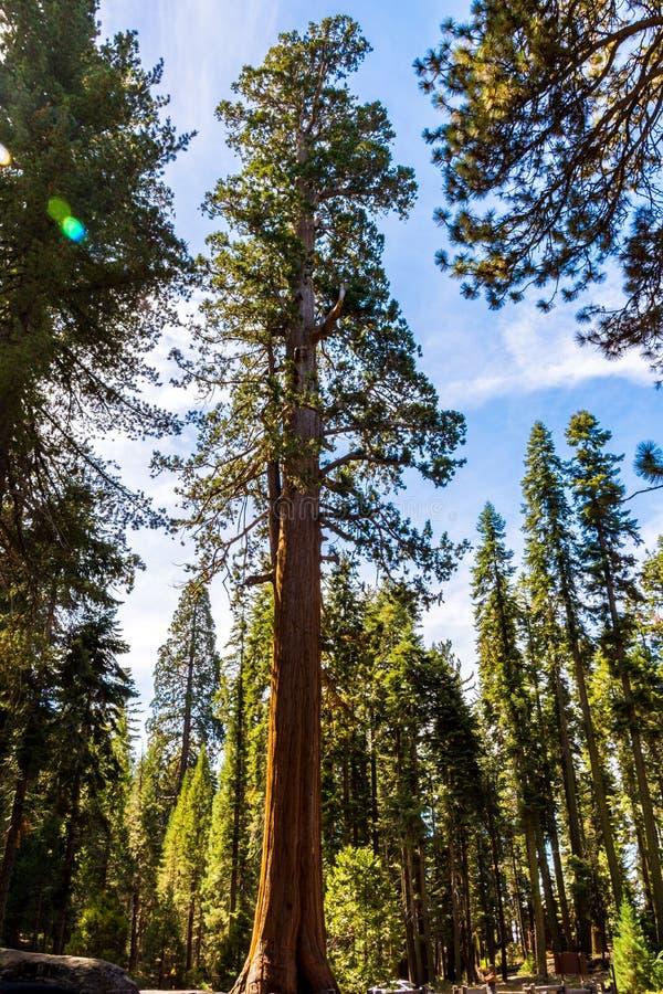 Albero della sequoia gigante, foresta gigante, California U.S.A. immagini stock libere da diritti