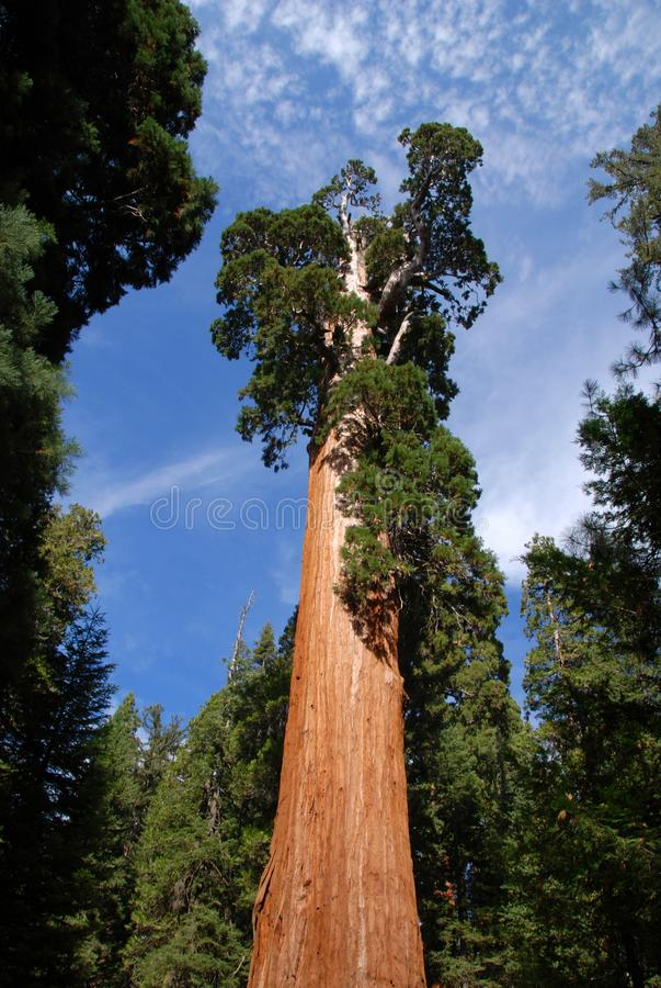 Albero della sequoia gigante fotografia stock