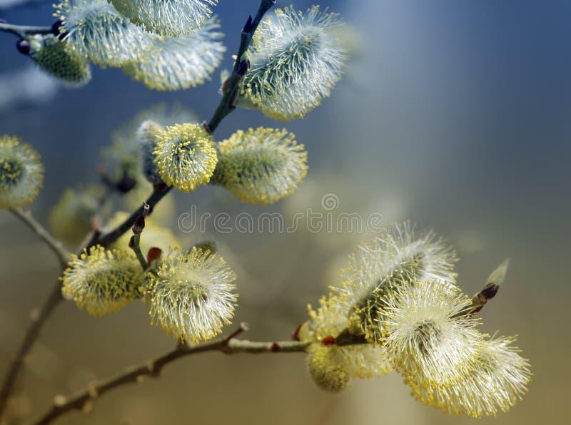 Albero della sorgente che fiorisce - agnello-code fotografie stock