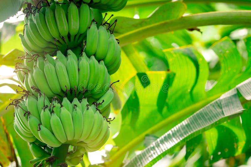 Albero delle banane con mazzette di banane verdi e di foglie verdi di banane Banana coltivata Azienda frutticola tropicale Erba immagini stock libere da diritti