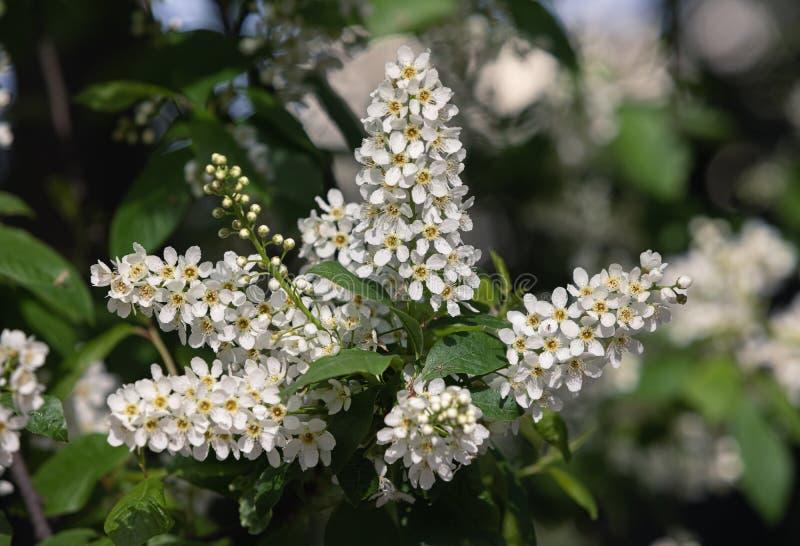 Albero delle ciliegie d'uccelli a Blossom fotografie stock