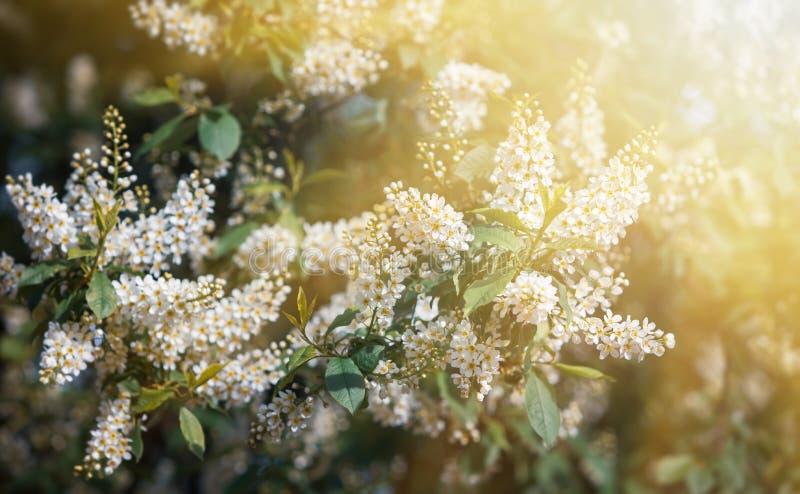 Albero delle ciliegie d'uccelli a Blossom fotografia stock