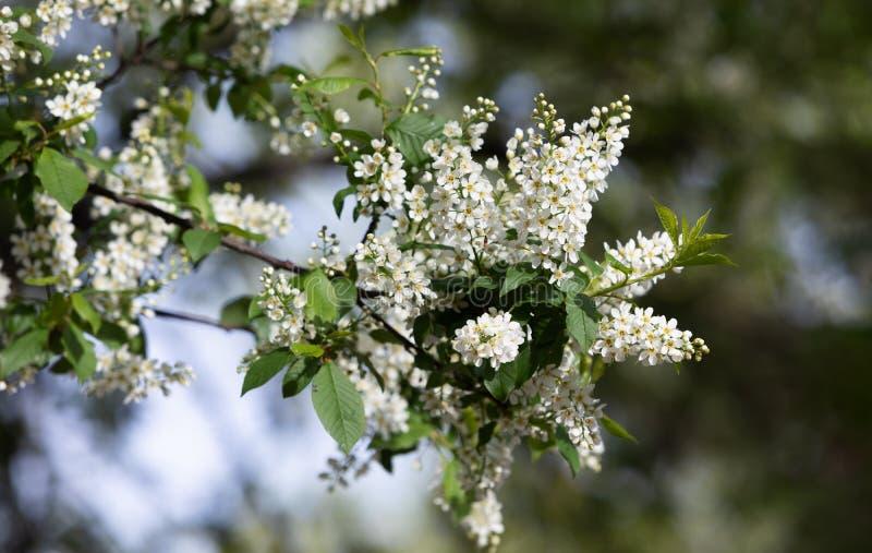 Albero delle ciliegie d'uccelli a Blossom immagini stock