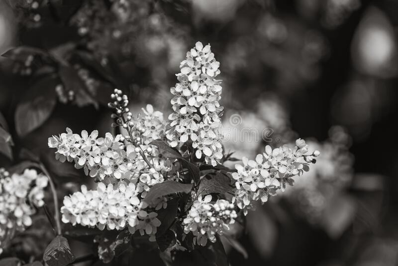Albero delle ciliegie d'uccelli a Blossom immagine stock libera da diritti