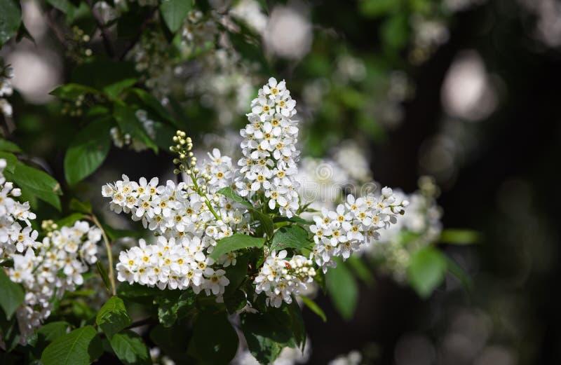 Albero delle ciliegie d'uccelli a Blossom fotografia stock libera da diritti