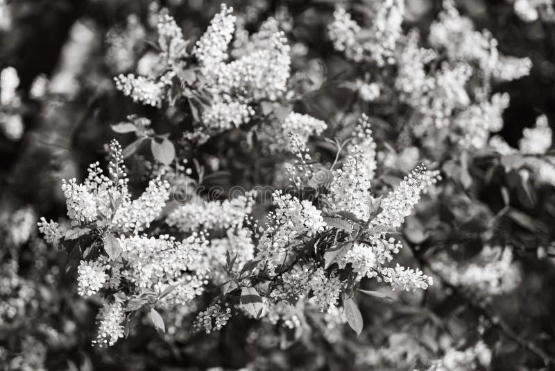 Albero delle ciliegie d'uccelli a Blossom immagini stock libere da diritti