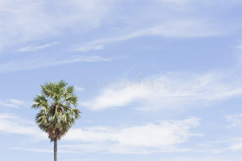 Albero dello zucchero di palma sul fondo del cielo immagini stock libere da diritti
