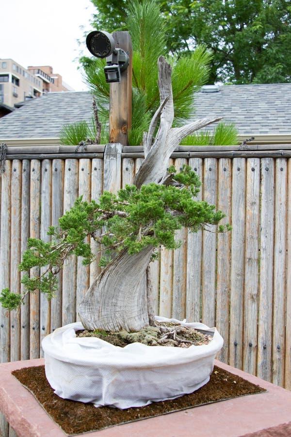 Albero Denver Botanical Gardens dei bonsai immagini stock