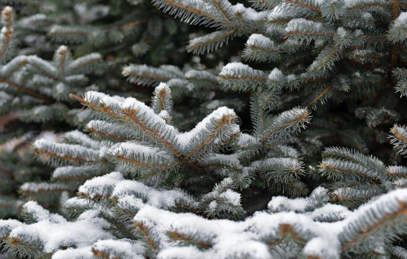 Albero di abete bianco durante l'inverno fotografia stock