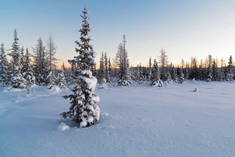 Albero di abete innevato sui precedenti della foresta nell'inverno fotografia stock