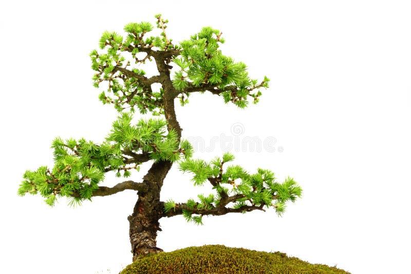 Albero di abete in mezzo alla natura con i rami ed il verde di erba immagini stock