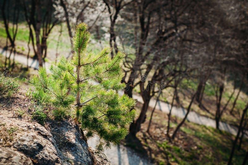 Albero di abete solo al bordo della scogliera all'aperto fotografia stock