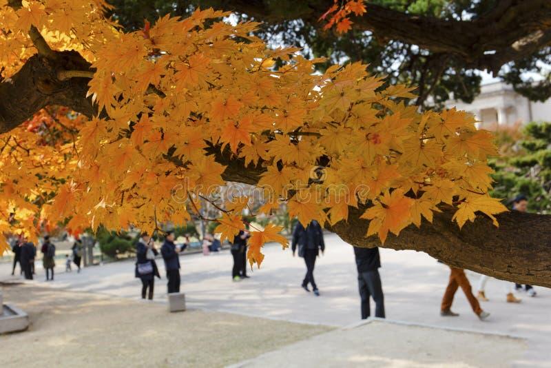Albero di acero arancio di autunno fotografia stock libera da diritti