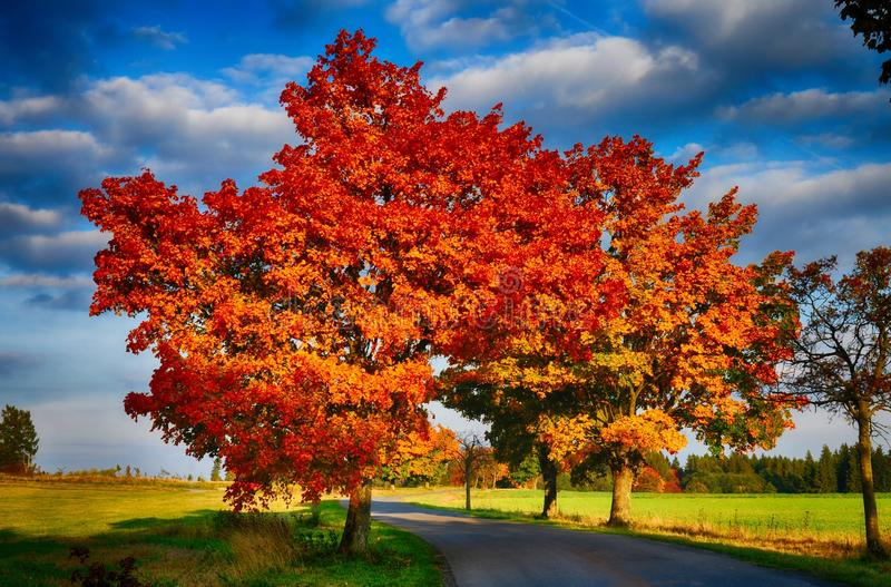 Albero di acero con le foglie e la strada asfaltata colorate rosso al daylightl caduta/di autunno fotografie stock libere da diritti