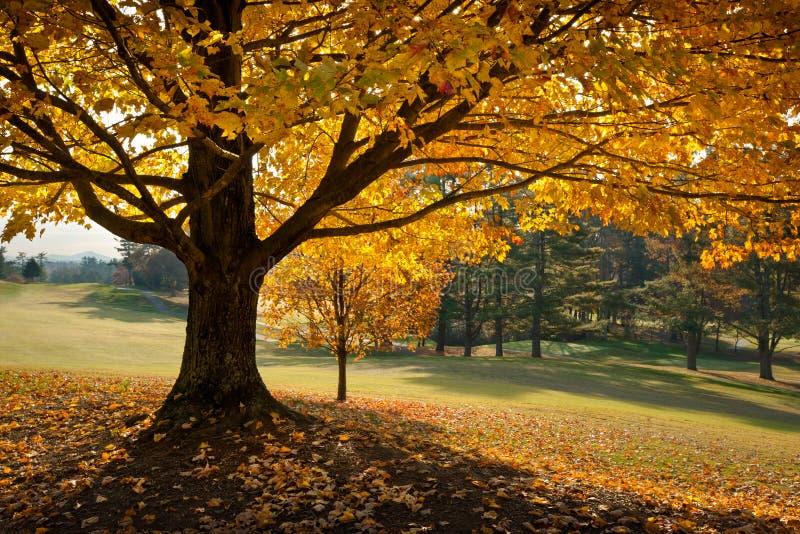 Albero di acero dorato di colore giallo di autunno del fogliame di caduta immagine stock
