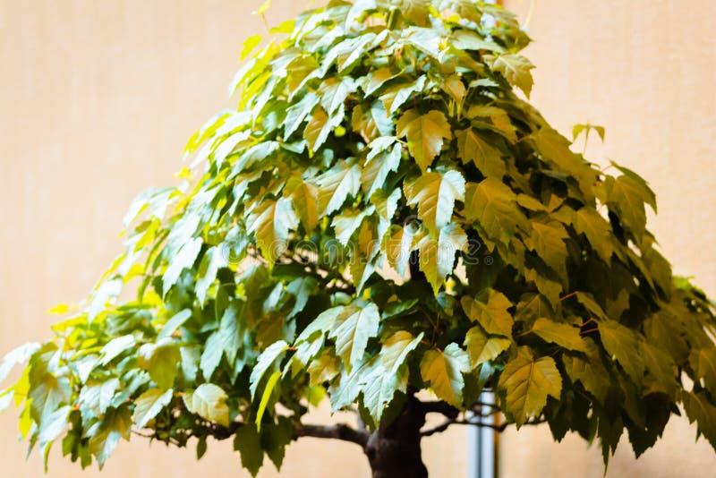 Albero di acero giapponese dei bonsai ad una manifestazione ai giardini di Frederik Meijer a Grand Rapids Michigan fotografie stock