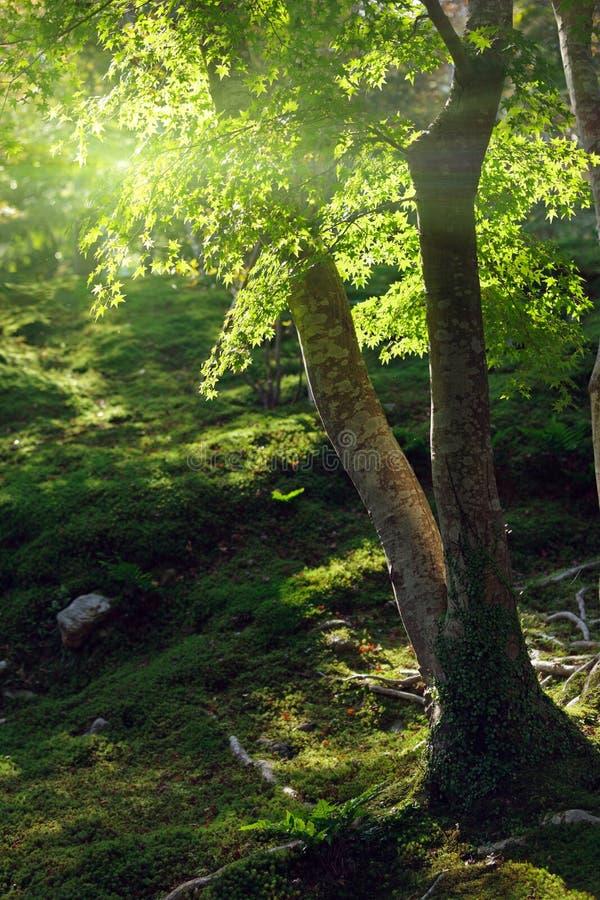 Albero di acero nell'ambito di luce solare fotografia stock