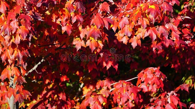 Albero di acero rosso fotografie stock libere da diritti