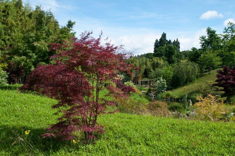 Albero di acero rosso in un giardino giapponese fotografia for Acero rosso giapponese