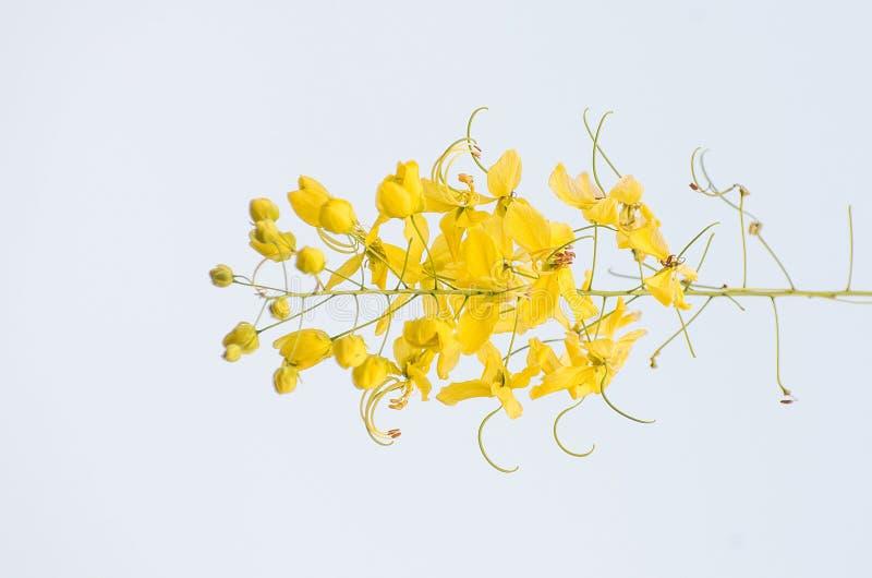 Albero di acquazzone dorato fotografie stock libere da diritti