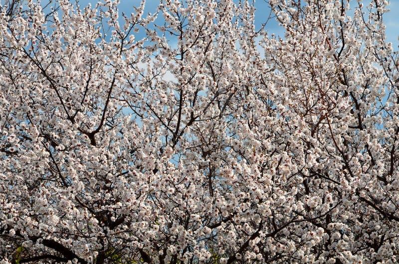 Albero di albicocca di fioritura della molla della corona come fondo immagini stock libere da diritti