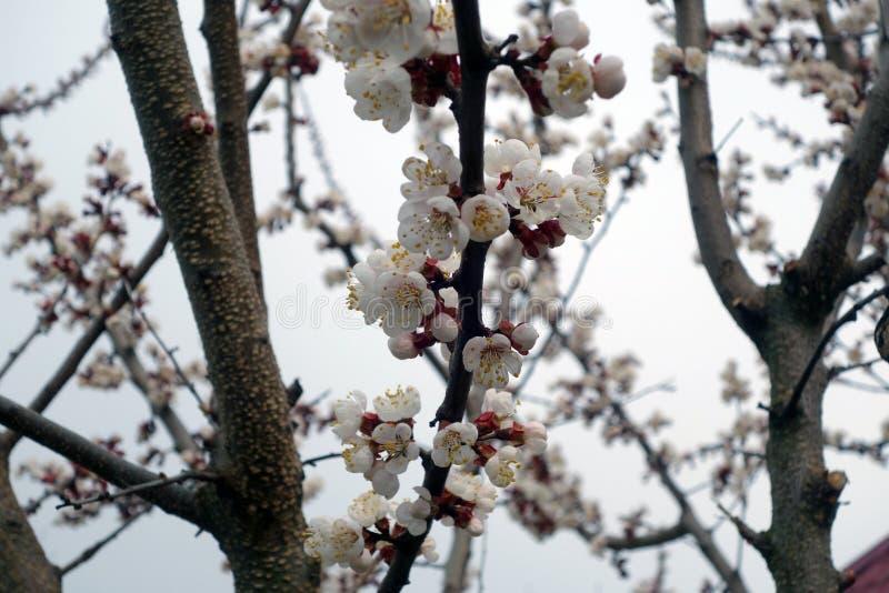 Albero di albicocca in fioritura fotografie stock libere da diritti