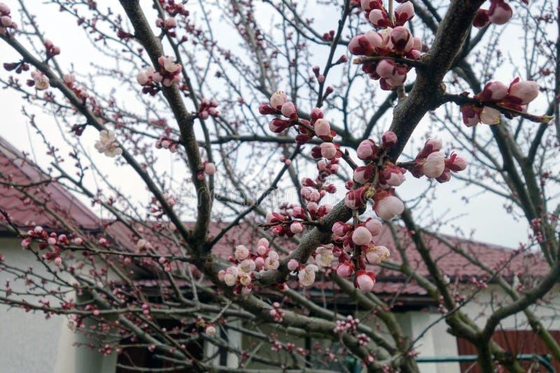 Albero di albicocca in fioritura immagine stock