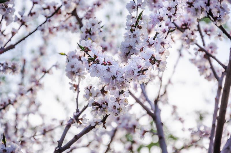 Albero di albicocca di fioritura in primavera fotografie stock